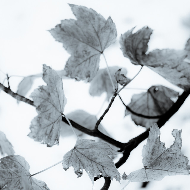 """Leaves on branch - snow background"" stock image"