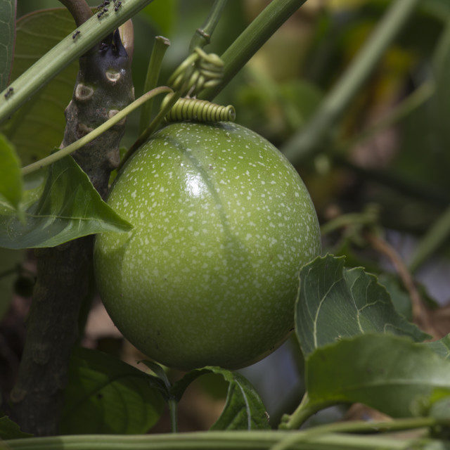 """A big green fruit on tree"" stock image"