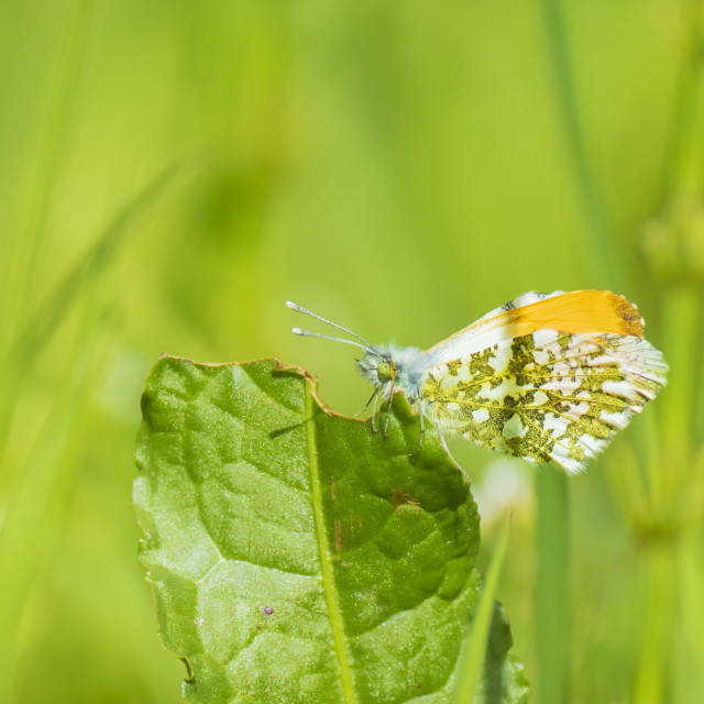 """""""Orange tip butterfly anthocharis cardamines male"""" stock image"""