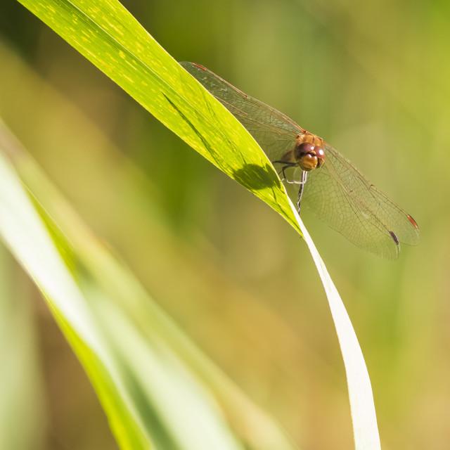 """""""Red male Common Darter Sympetrum striolatum resting"""" stock image"""
