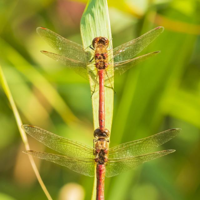 """Common Darter (Sympetrum striolatum) dragonfly mating"" stock image"