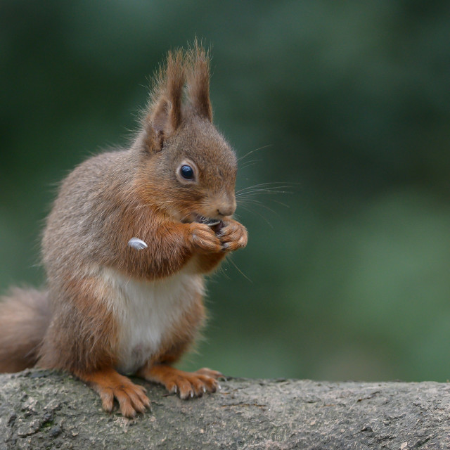 """""""Red squirrel on a tree 2"""" stock image"""