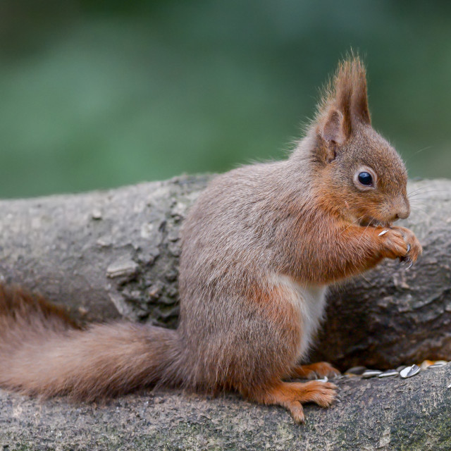 """""""Red squirrel on a tree 4"""" stock image"""