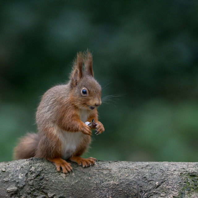 """""""Red squirrel on a tree 3"""" stock image"""