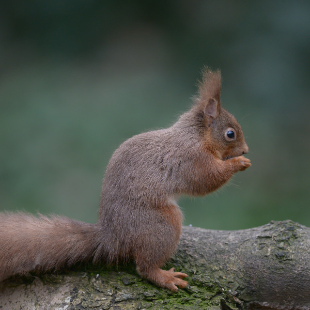 """""""Red squirrel on a tree 1"""" stock image"""