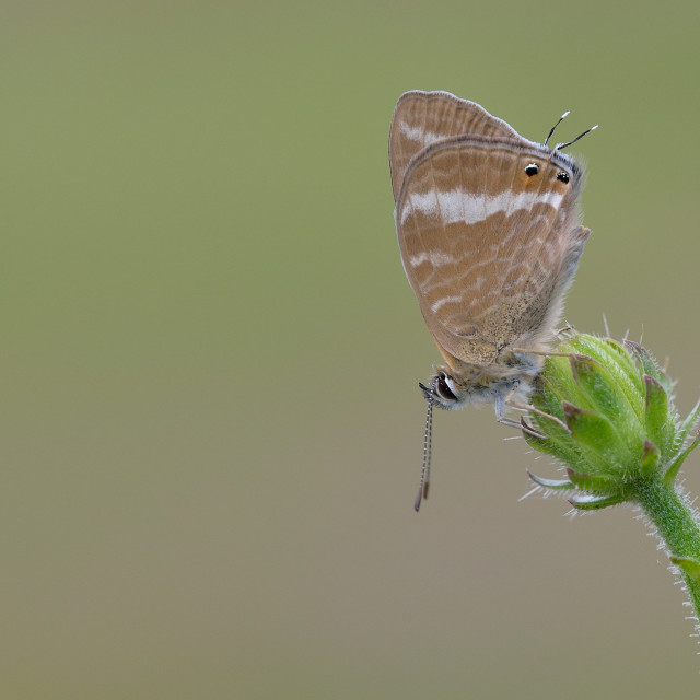"""Long-tailed Blue (Lampides boeticus)."" stock image"