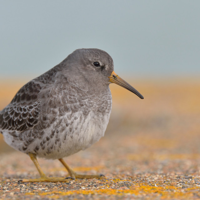 """Purple Sandpiper (Calidris maritima)."" stock image"