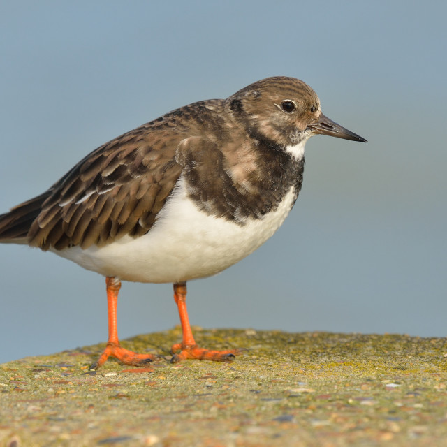 """Turnstone (Arenaria interpres)."" stock image"