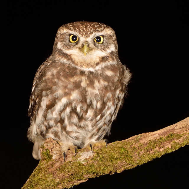"""Little Owl (Athene noctua)."" stock image"