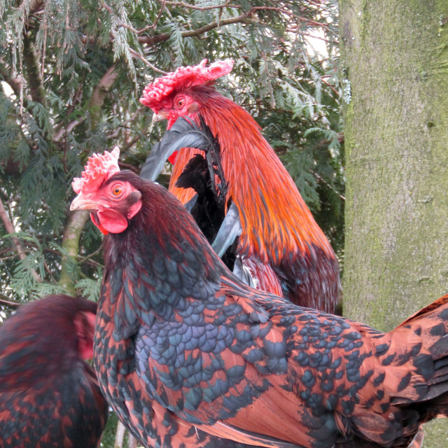"""Chickens at tree rest"" stock image"