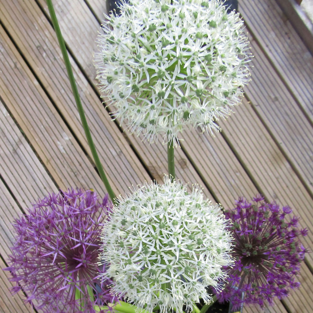 """""""White and purple Aliums in bloom"""" stock image"""