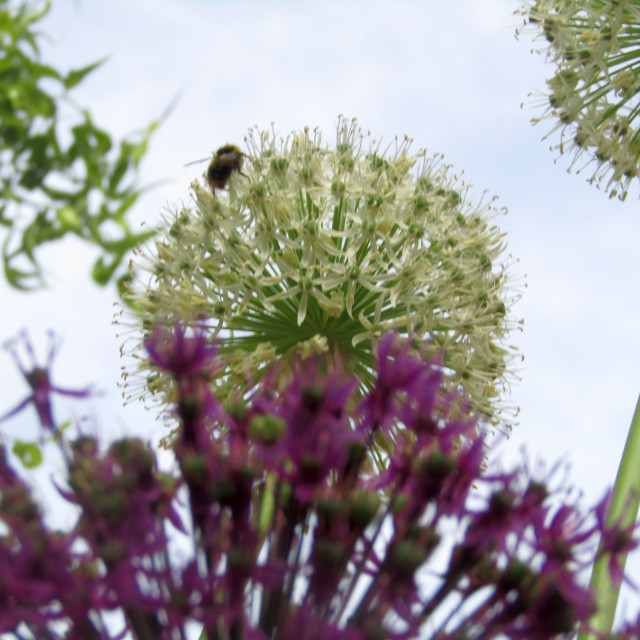 """White and purple Aliums in bloom with bee"" stock image"