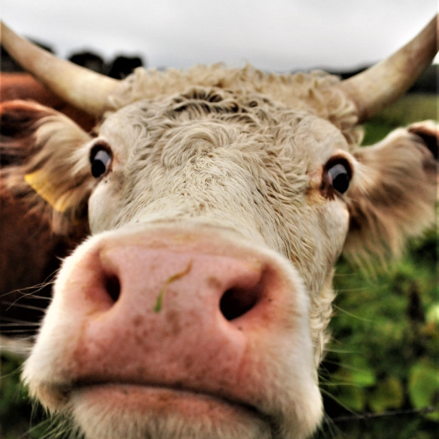 """""""Nosey Cow"""" stock image"""