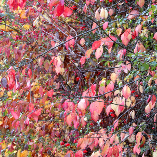 """""""Coloured leaf bush and berries"""" stock image"""