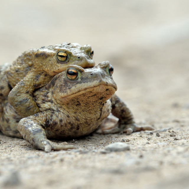 """Common Toads (Bufo bufo)."" stock image"