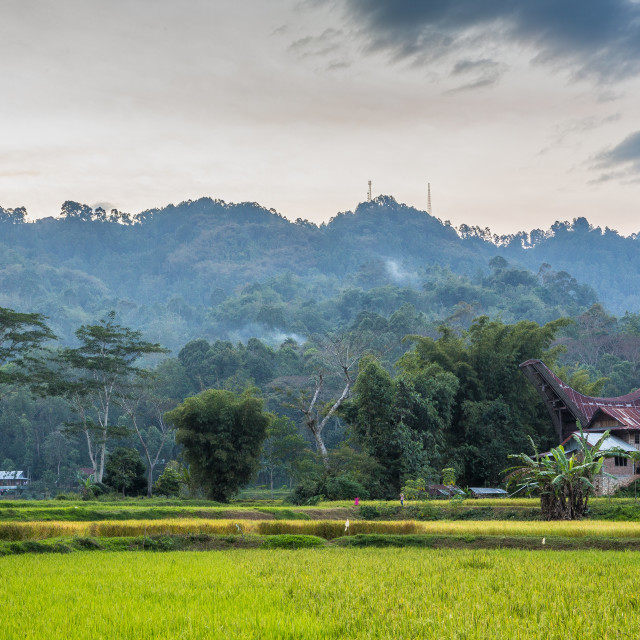 """""""Rice fields and Torajan Houses at dusk"""" stock image"""
