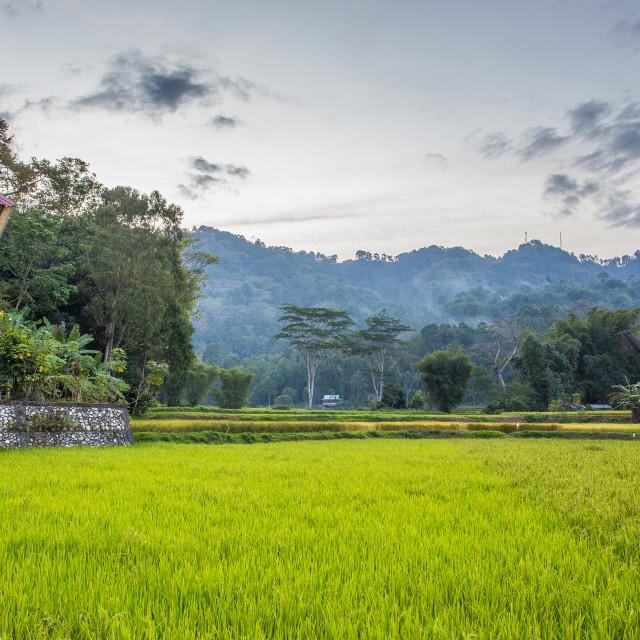 """Torajan house amid rice fields before dusk"" stock image"