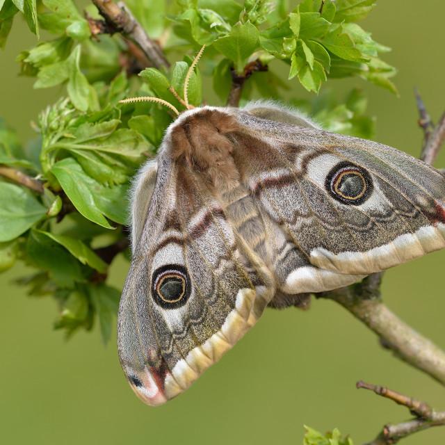 """Emperor Moth (Saturnia pavonia)."" stock image"