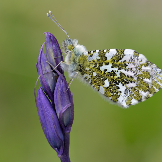 """Orange-tip (Anthocharis cardamines)."" stock image"
