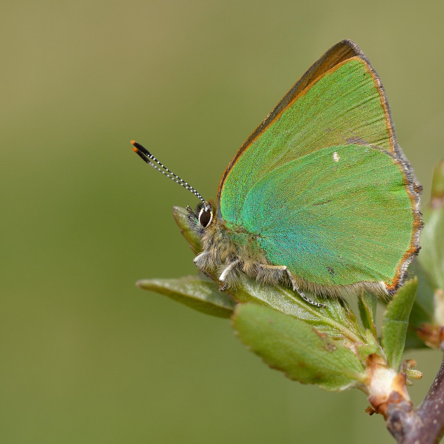 """Green Hairstreak (Callophrys rubi)."" stock image"