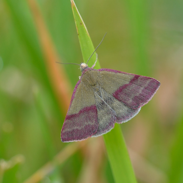 """Small Purple-barred (Phytometra viridaria)."" stock image"