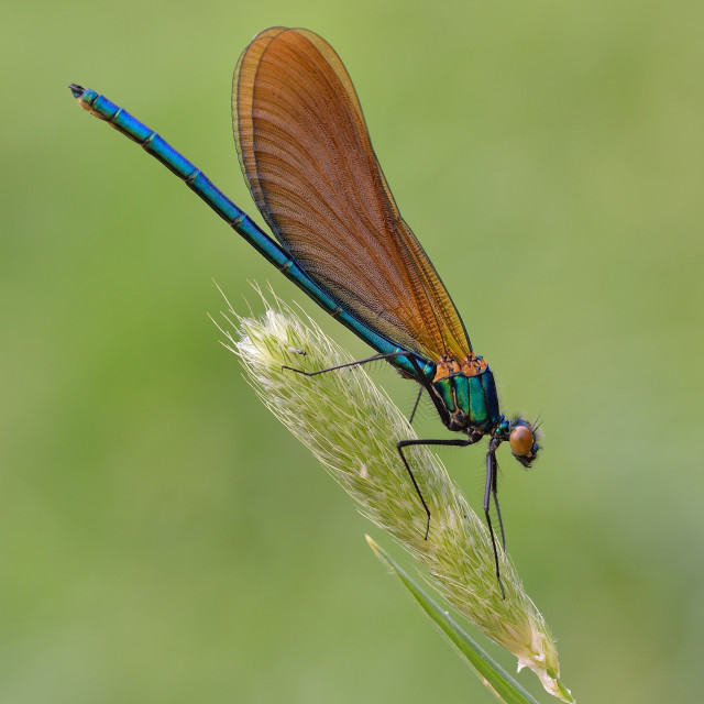 """Beautiful Demoiselle (Calopteryx virgo)."" stock image"