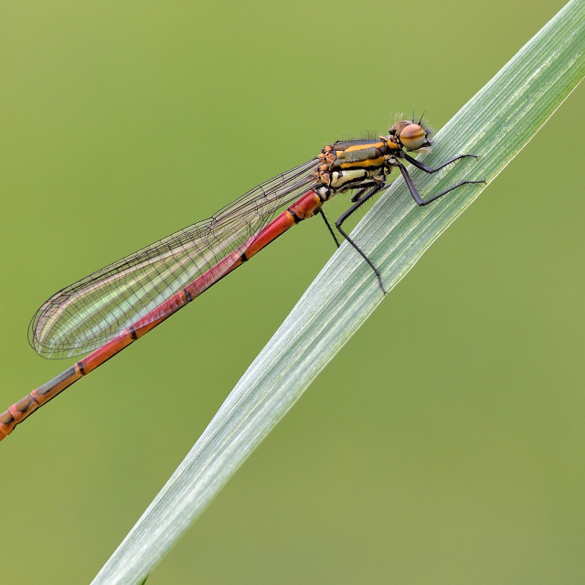 """Large Red Damselfly (Pyrrhosoma nymphula)."" stock image"