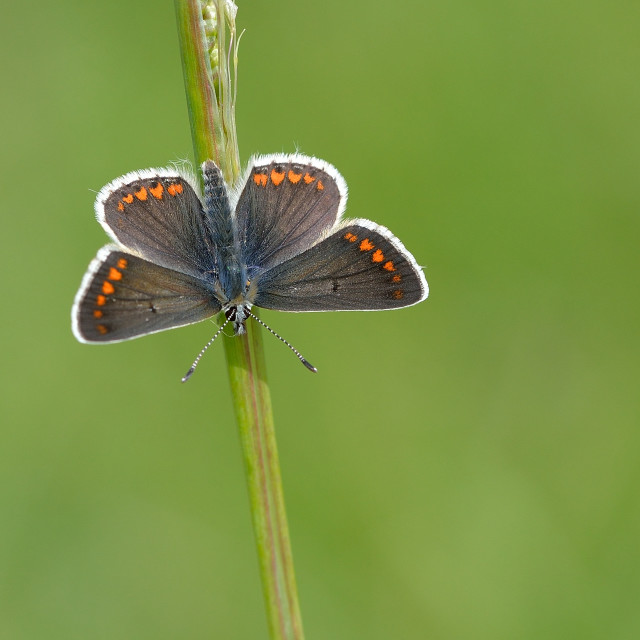 """Brown Argus (Aricia agestis)."" stock image"