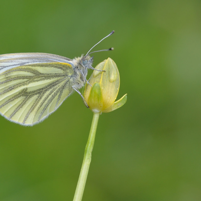 """Green-veined White (Pieris napi)."" stock image"