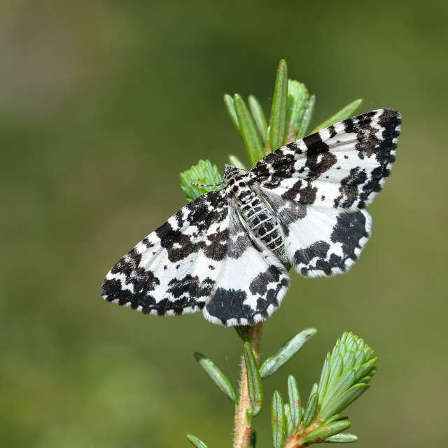 """Argent and Sable (Rheumaptera hastata)."" stock image"