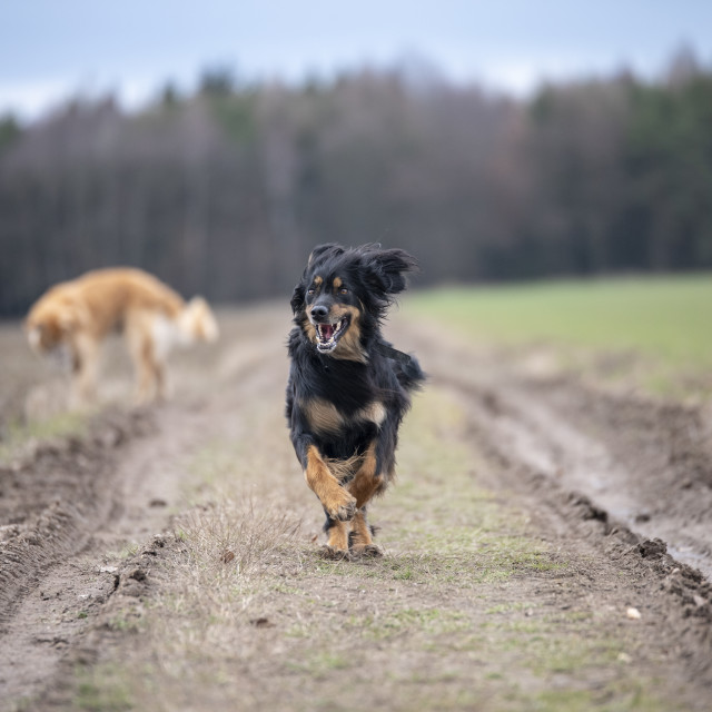 """nice dog hovawart guarding breed from germany"" stock image"
