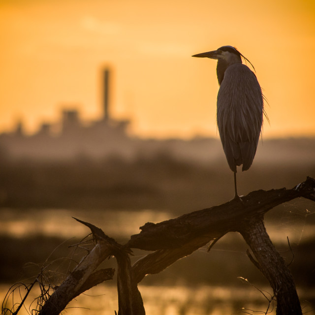 """""""Great Blue Heron Silhouette"""" stock image"""