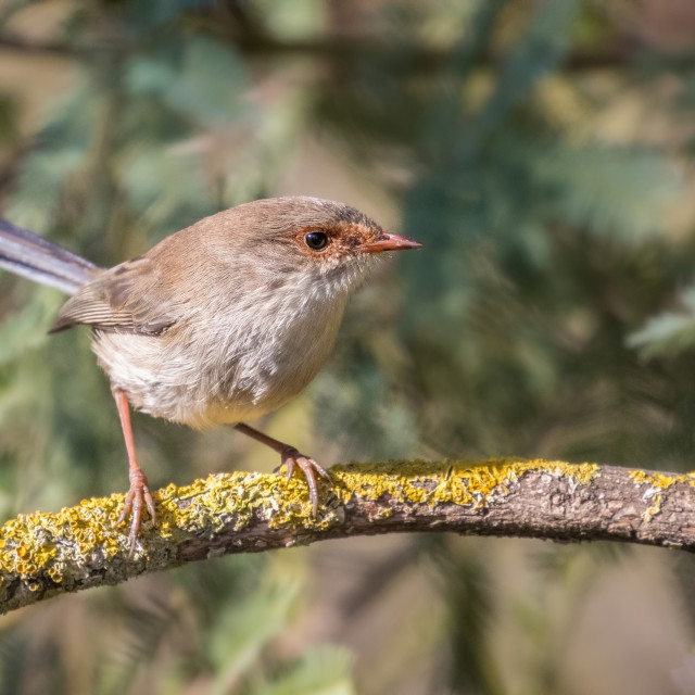 """Fairy wren"" stock image"