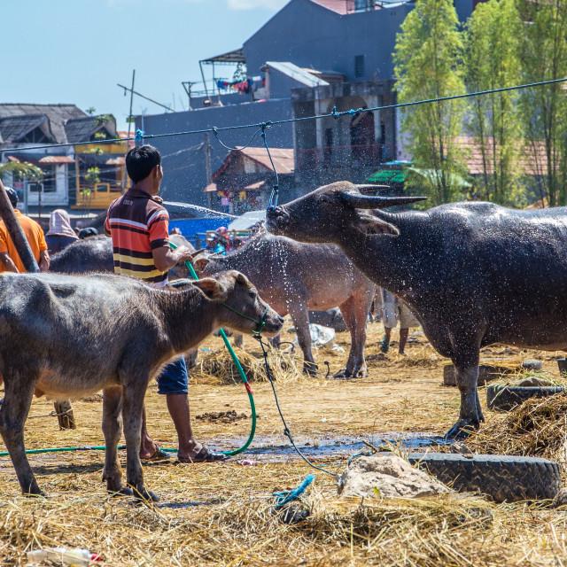 """""""Buffalo Market in Bolo, Tana Toraja"""" stock image"""