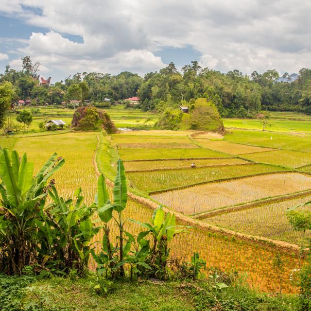 """Rice fields and a farmer in Tana Toraja"" stock image"