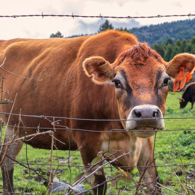 """Number One Cow Says Hello at the Fence"" stock image"
