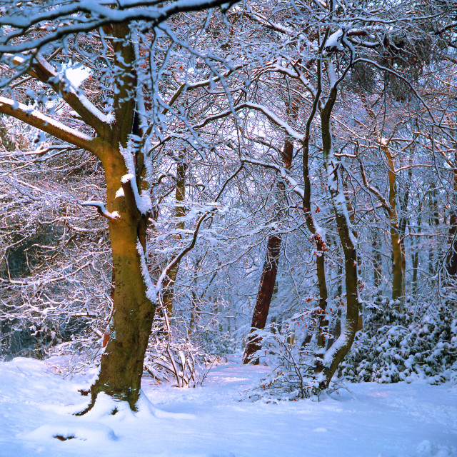 """Woodland Light and Snow"" stock image"