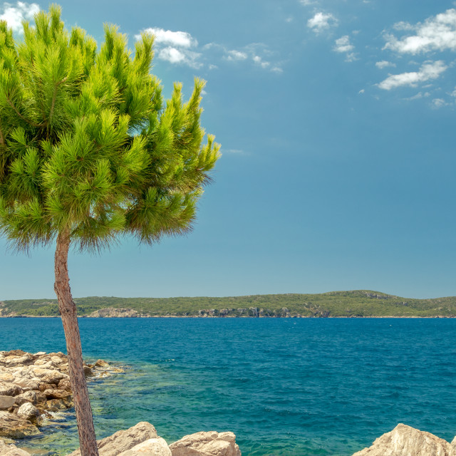 """Pine tree in Pylos"" stock image"