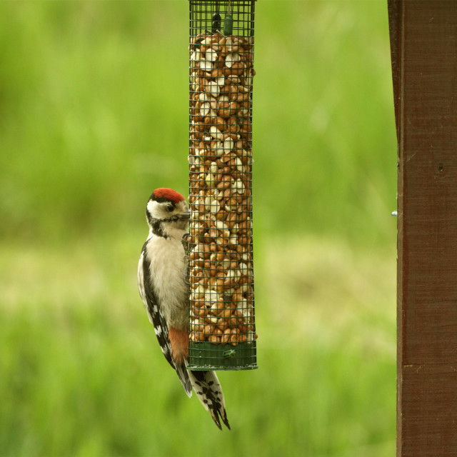 """""""Lesser Spotted Woodpecker"""" stock image"""