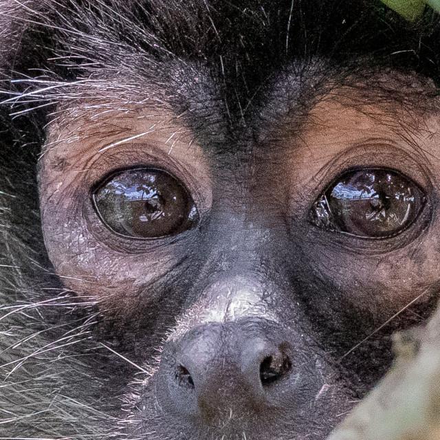 """""""spider monkey close up"""" stock image"""