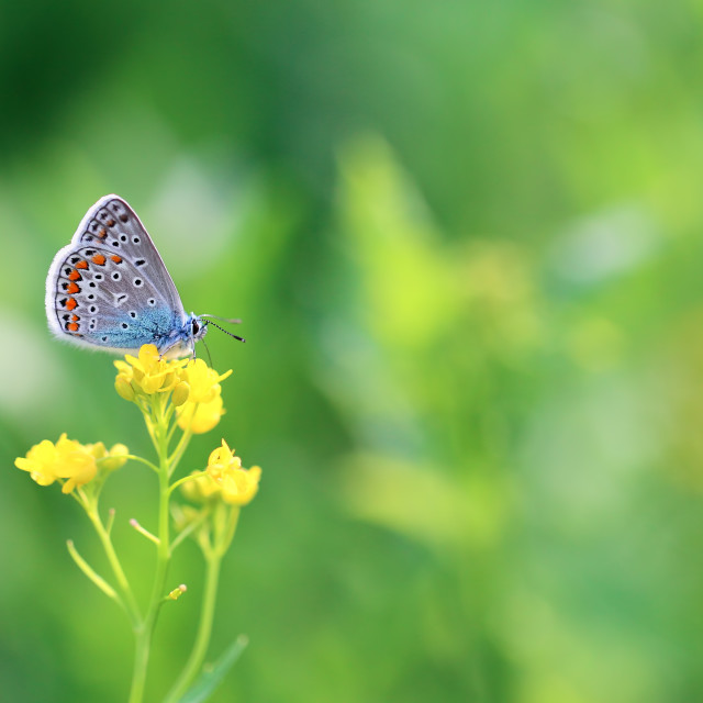 """A beautiful butterfly is looking for nectar in flowers"" stock image"
