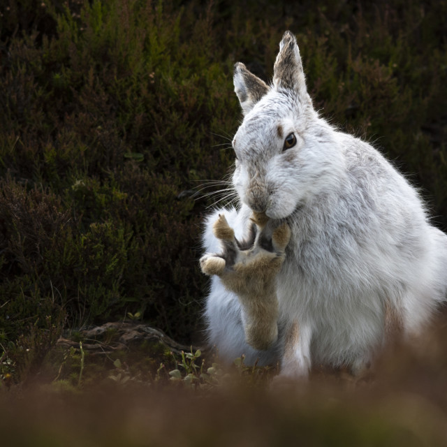 """Mountain Hare (Lepus timidus) with raised paw"" stock image"