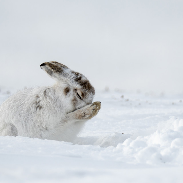 """Mountain Hare (Lepus timidus) grooming in the snow in the Scottish Highlands"" stock image"
