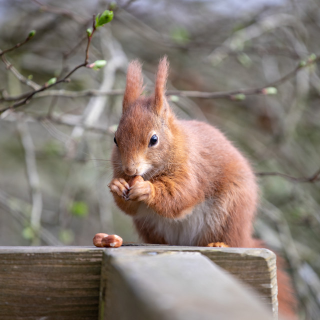 """""""The Red Squirrel"""" stock image"""