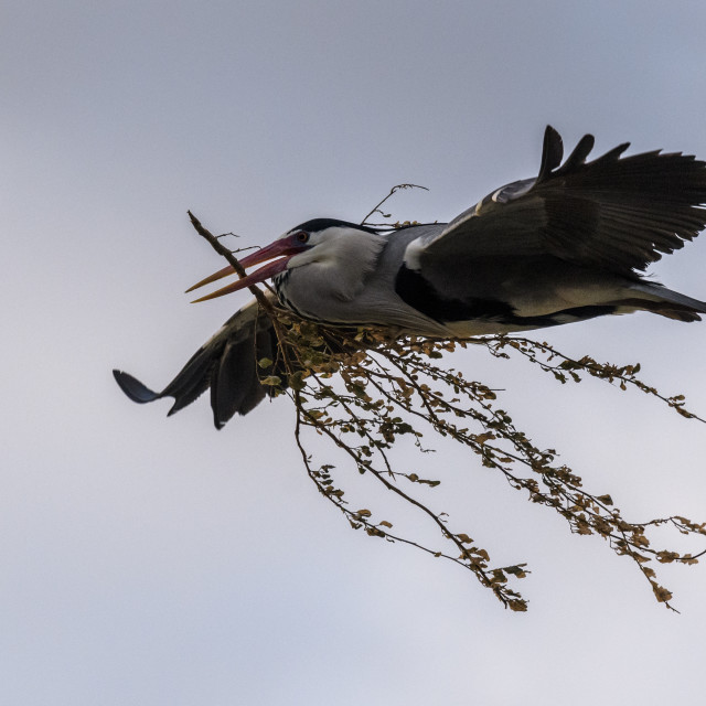 """A grey heron in flight with a branch in its beak"" stock image"