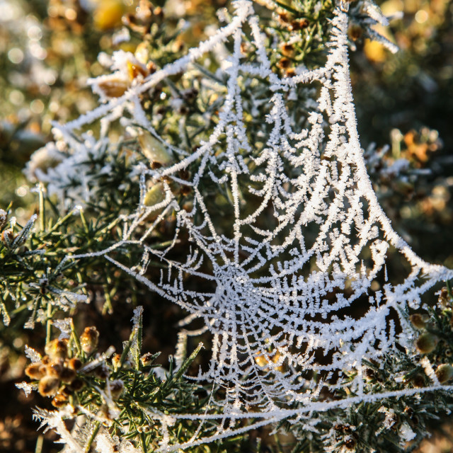 """""""Frosted Spiders Web"""" stock image"""