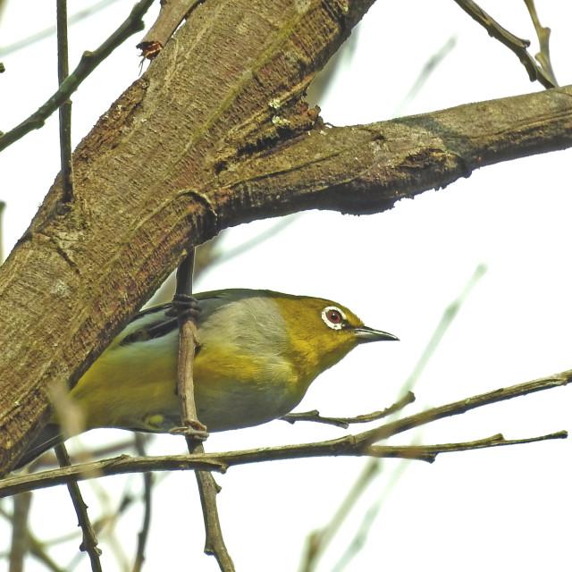 """eyeglass bird at a branch"" stock image"