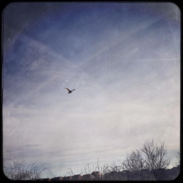 """Morning Swan Flight"" stock image"