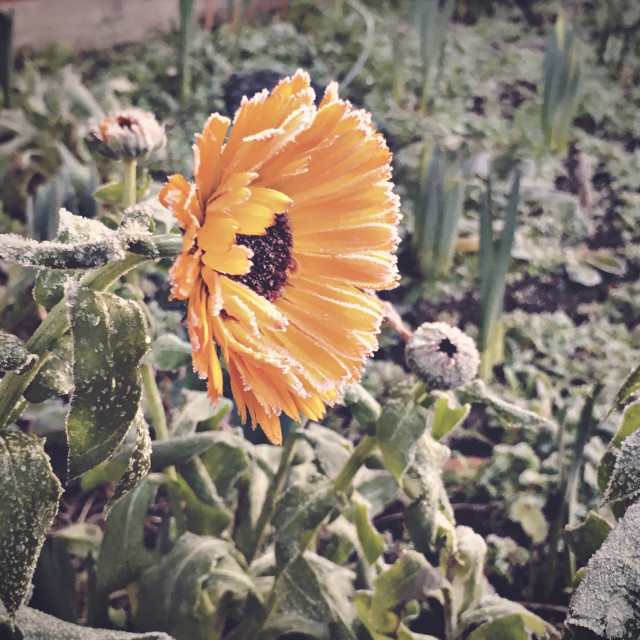 """Frosty Morning Flower"" stock image"