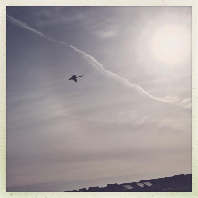 """Swan in Flight"" stock image"
